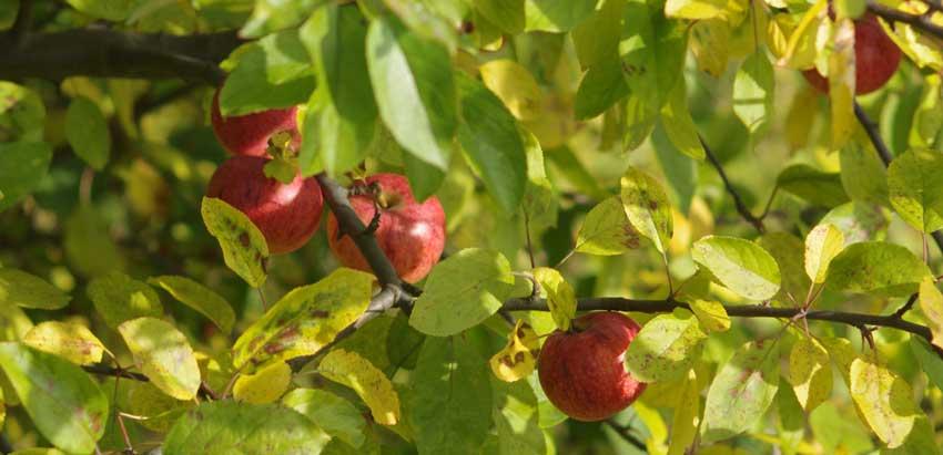 Tratamiento de enfermedades en los arboles frutales.
