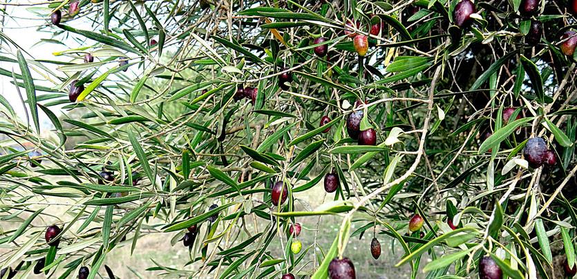 Guía cuidados del olivo. La poda de formación en el olivo.